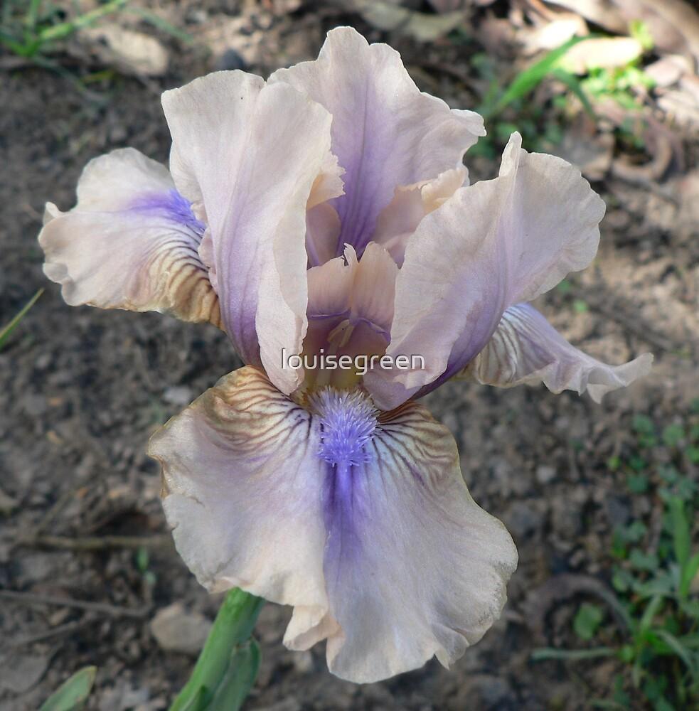"""Median Iris - """"Shameless"""" by louisegreen"""