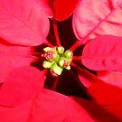 Poinsettia by Yvonne Carsley