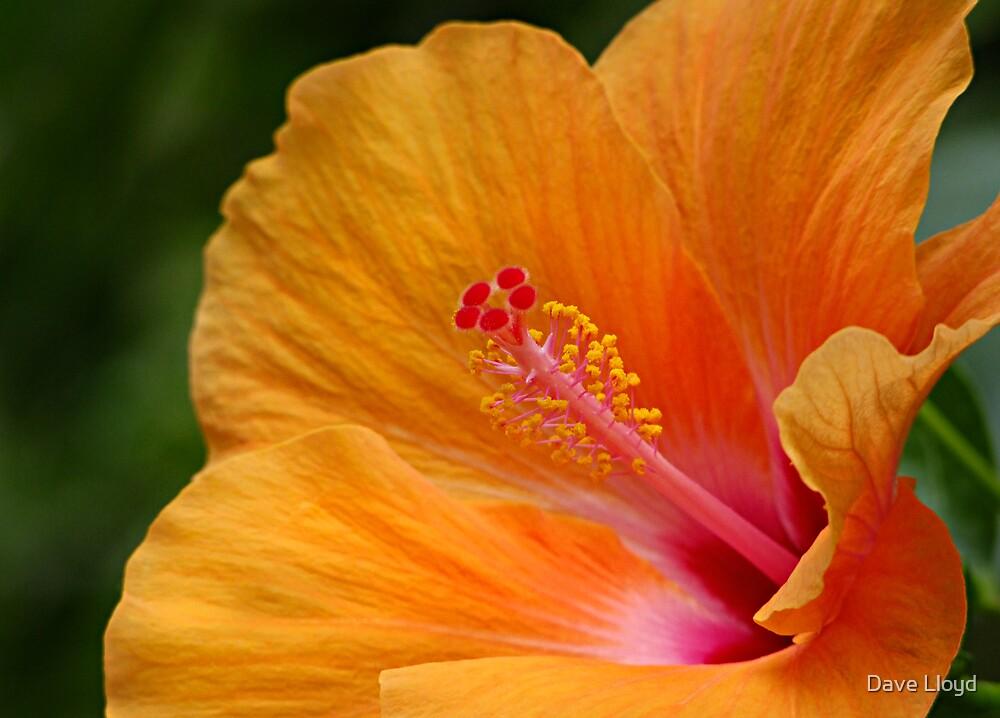 Orange Chaba by Dave Lloyd