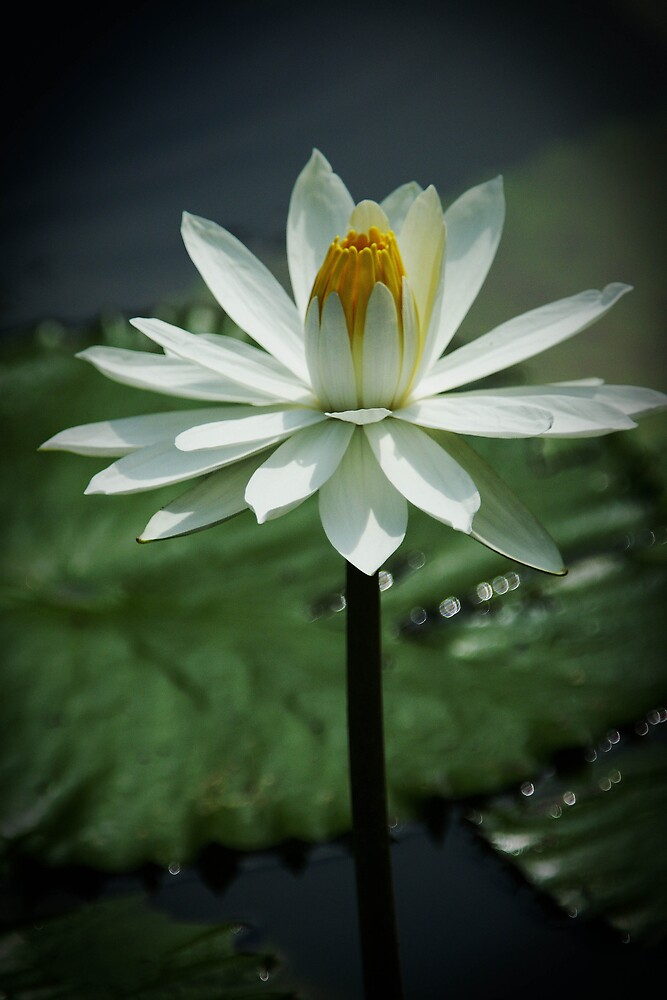 The Nature Beauty of Lotus (I) by Gohty