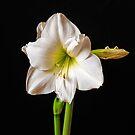 A white amyrillis by naranzaria