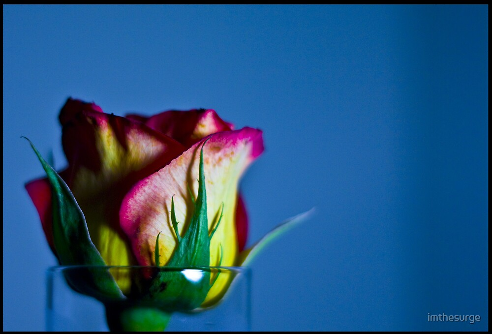 Rose by imthesurge