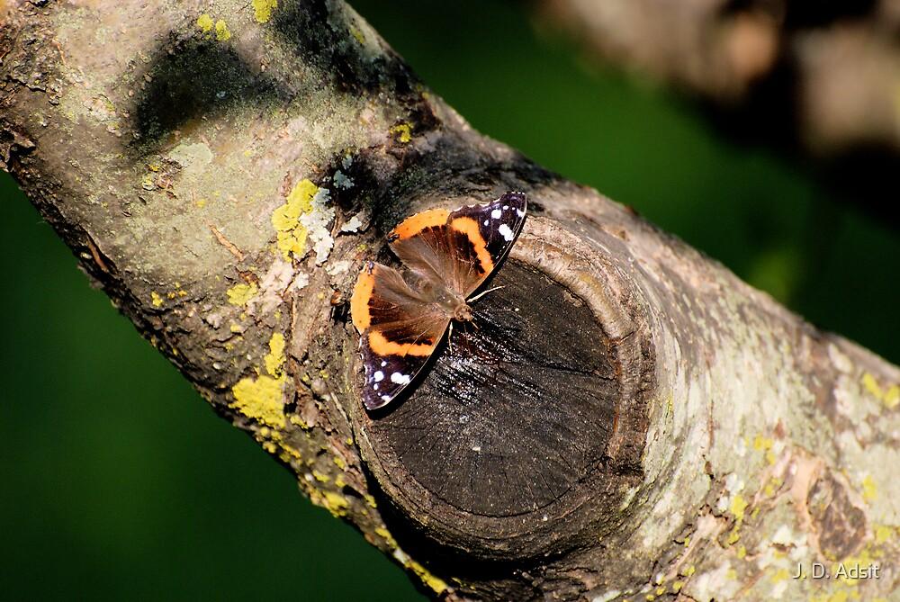 Butterfly Feeding by J. D. Adsit
