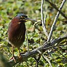green heron by cliffordc1
