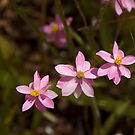 Australian Wild Flowers #12 by Paul Gilbert
