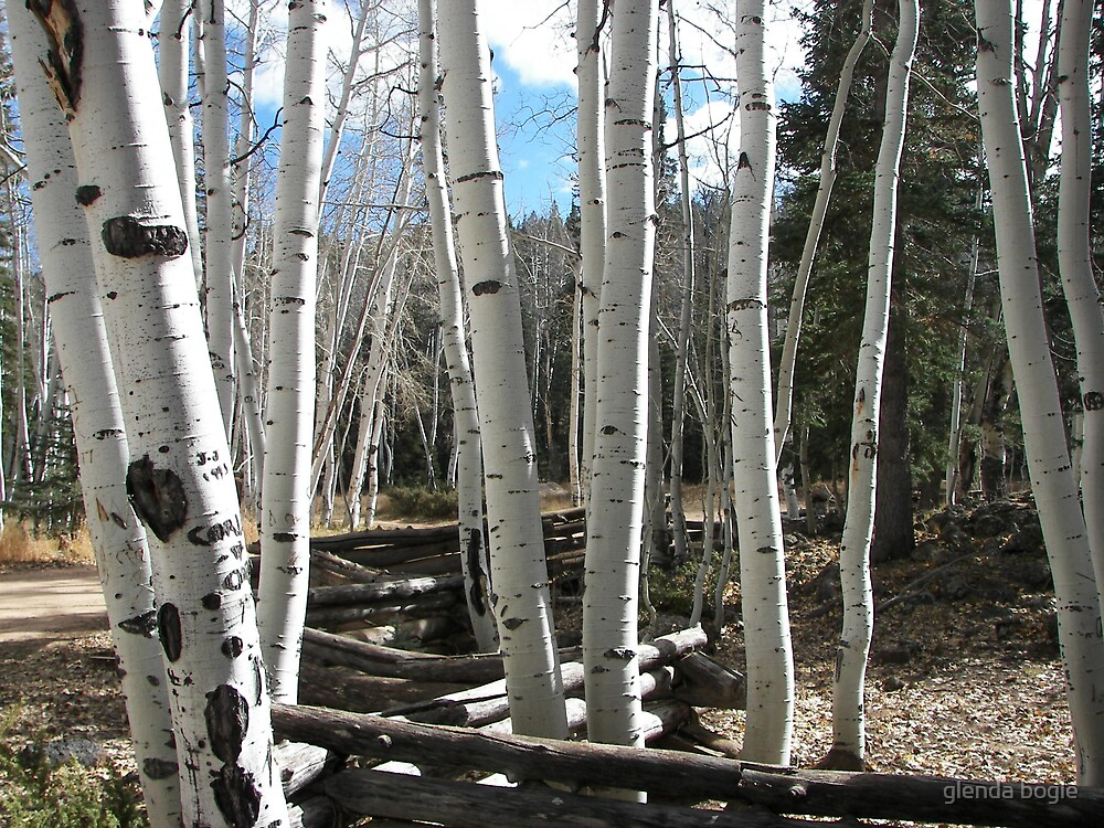 aspen trees by glenda bogle
