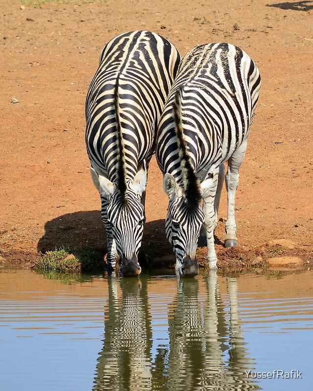 zebra wildlife south africa - 640×800