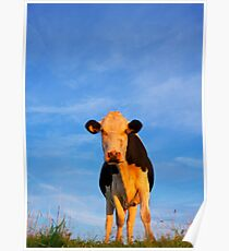 Cow and Blue Sky Poster