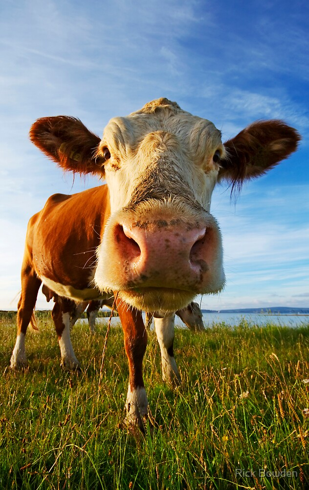 Too Close Cow by Rick Bowden