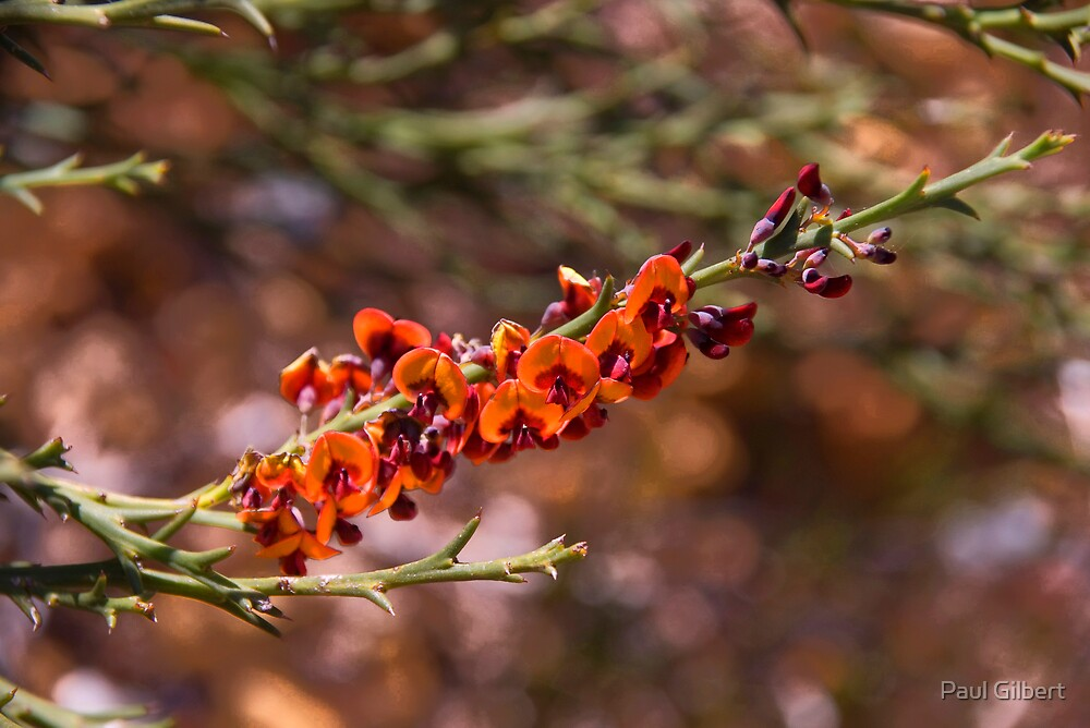 Australian Wild Flowers #18 by Paul Gilbert
