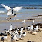 Crested Tern in Hover by kalaryder