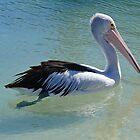 Australian Pelican by Graeme  Hyde
