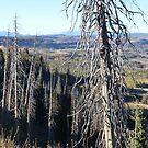 Gnarled Pine Overlook by BrianAShaw