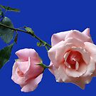 High Hopes - Two Peach Coloured Roses by BlueMoonRose