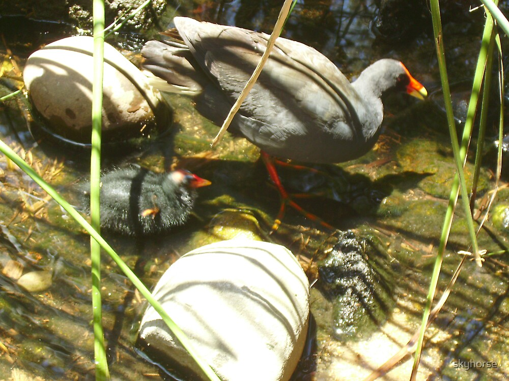Swamp Hen and Chick by skyhorse
