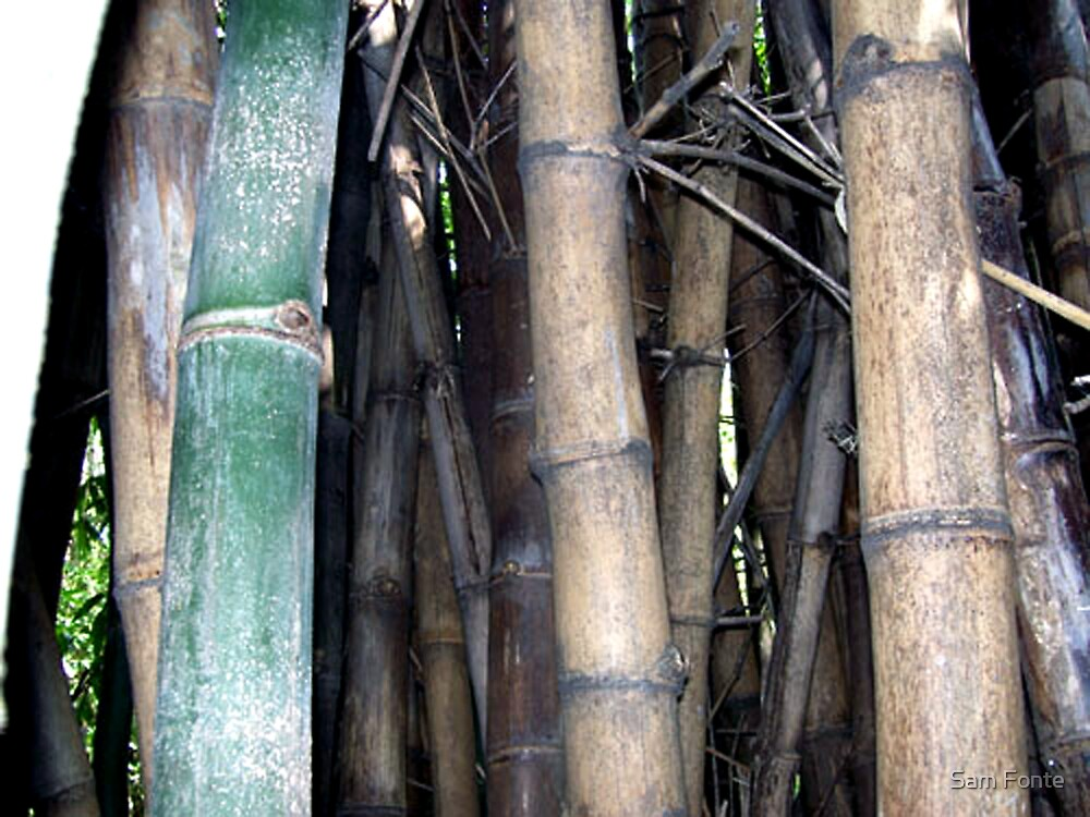 bamboo groove.... by Sam Fonte