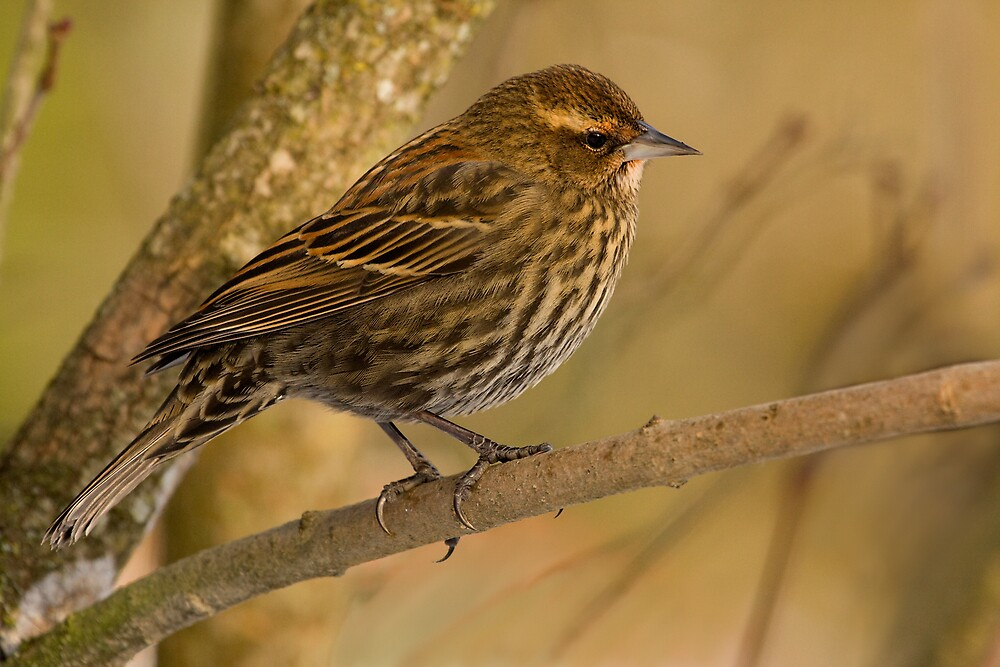 FEMALE RED-WINGED BLACKBIRD by Sandy Hill