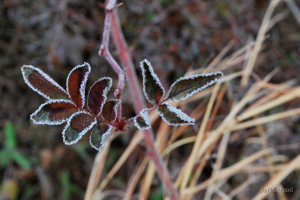 frosted leaves by Jeff stroud