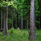 The Forest by CarolM