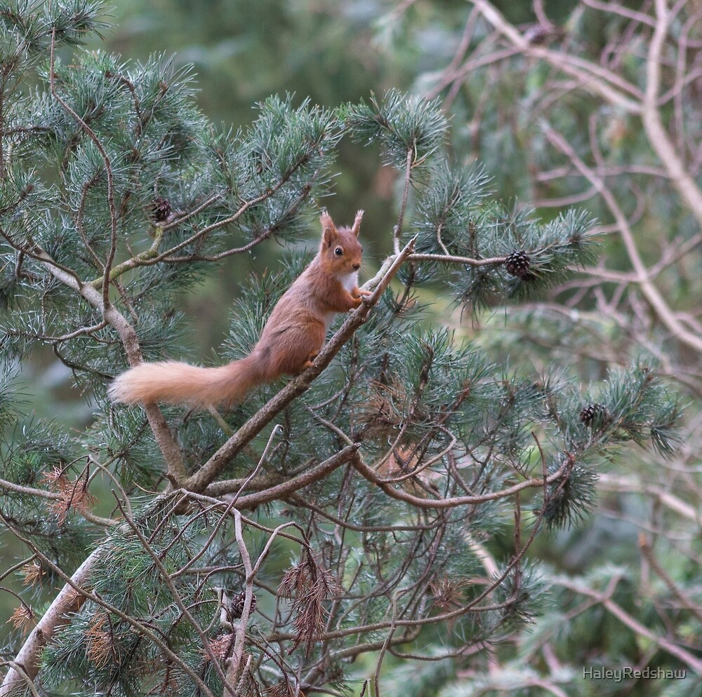 red squirrel in the trees by HaleyRedshaw
