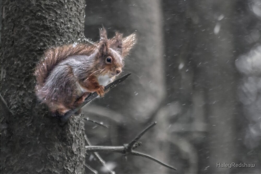 Squirrel in the snow by HaleyRedshaw