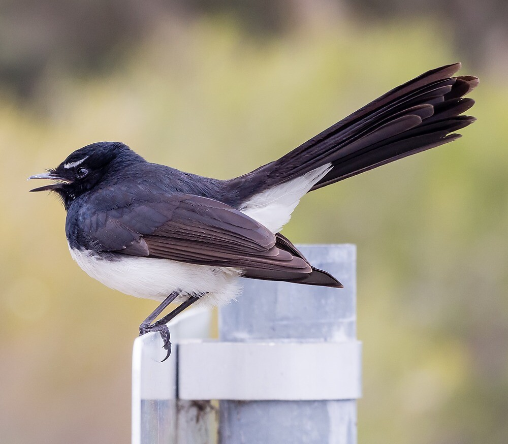 willie wagtail by numbathyal