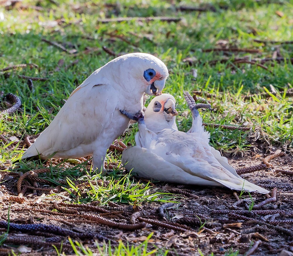 little corellas by numbathyal