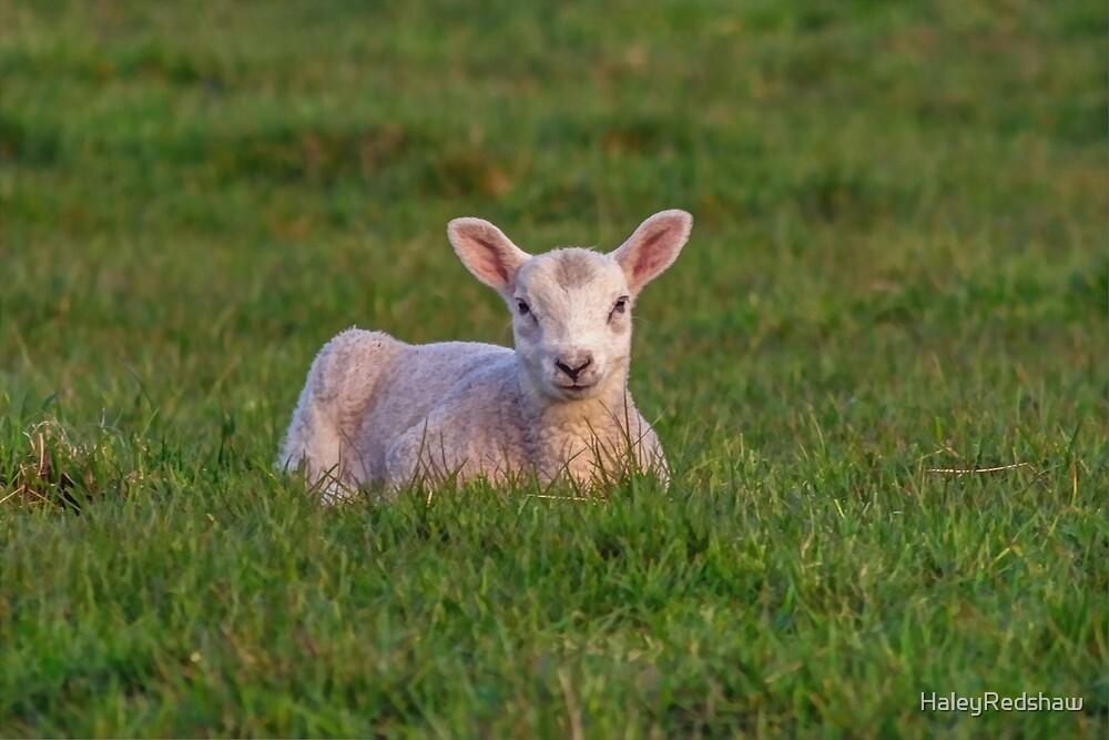 Little lamb by HaleyRedshaw
