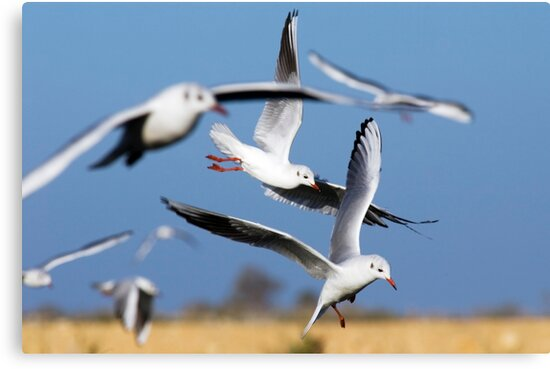 Black-headed Gull (Larus ridibundus) hovering over the fish ponds in search for fish by PhotoStock-Isra