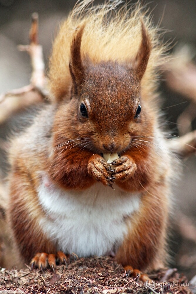 Hungry red squirrel by HaleyRedshaw