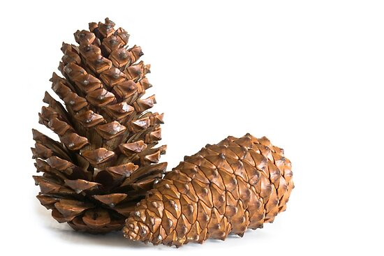 Pinecones by igorsin