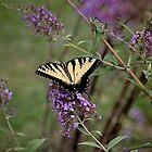 Yellow Butterfly by bwatkinsphoto