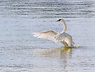 Swan Flapping Wings on Water by Kenneth Keifer