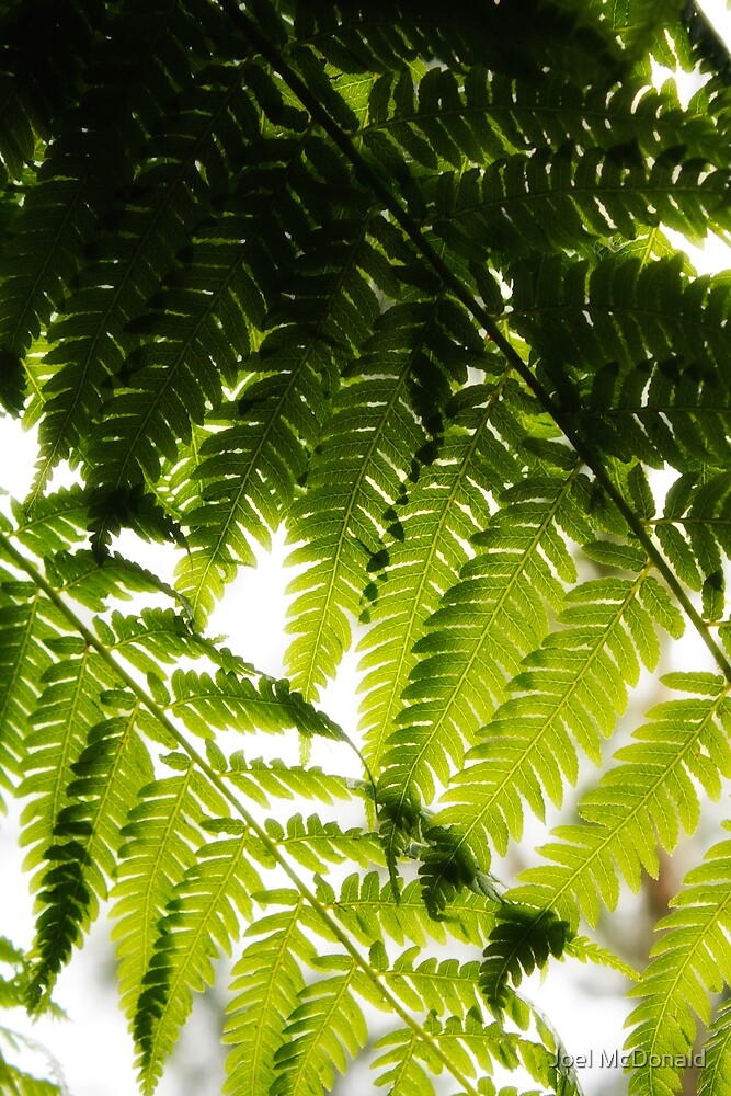 Forest Fern by Joel McDonald