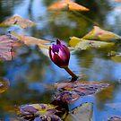 Water Lily Bud by DARRIN ALDRIDGE