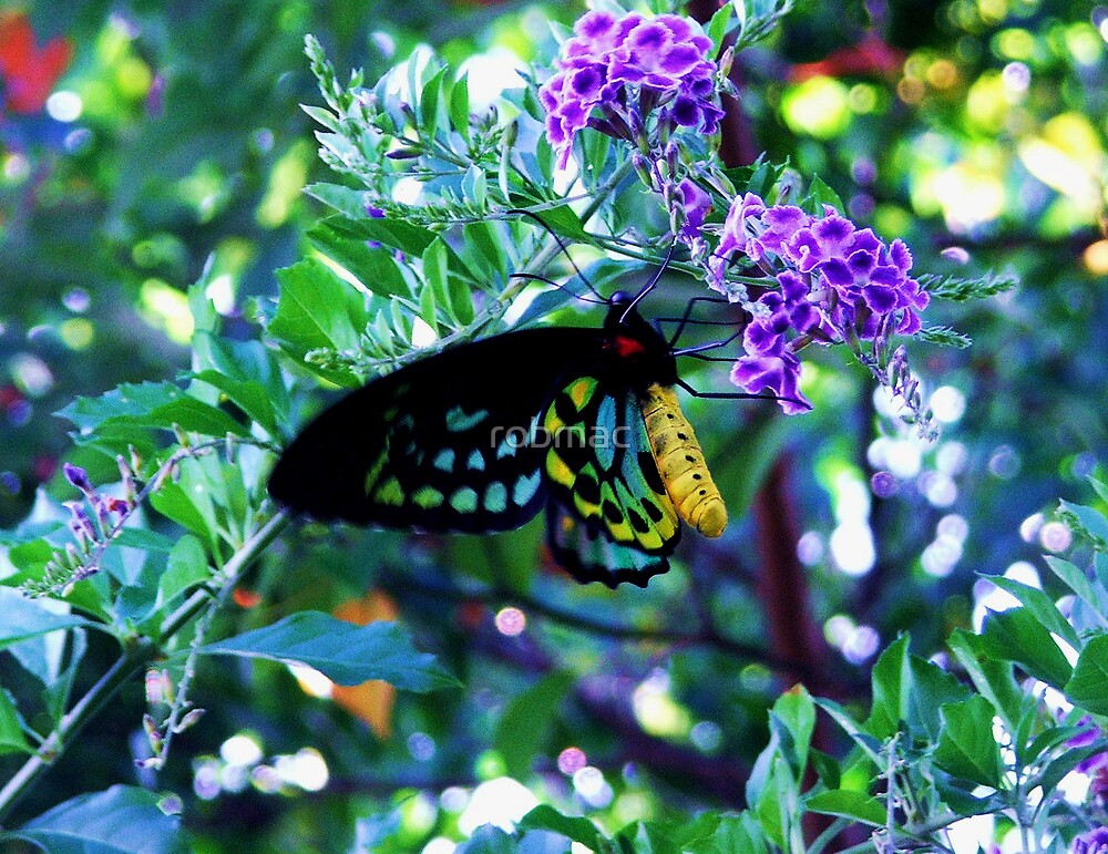 Male Cairns birdwing  by robmac