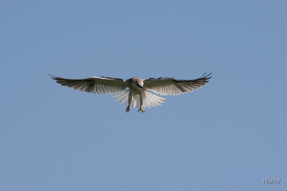 Juvenile Black Shouldered Kite Hunting by Normf