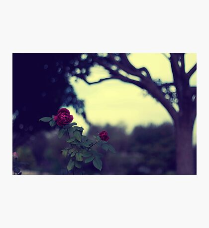 ah the red roses are for love triumphant Photographic Print