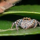 Garden Jumping Spider by Andrew Trevor-Jones