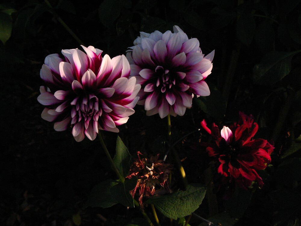 dahlias  by megrag53
