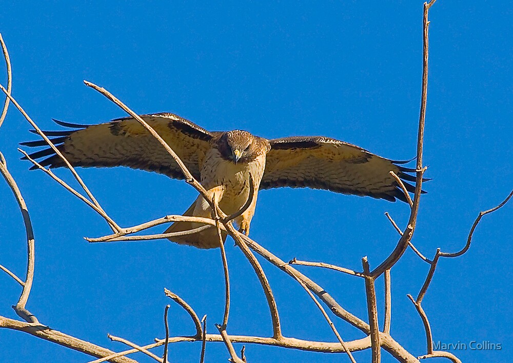 Redtail landing by Marvin Collins