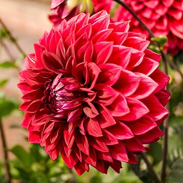 Deep Red Dahlia by CarolynEaton