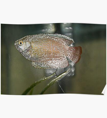 Plastic Fish  Poster