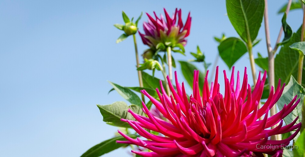 Spiky Pink Dahlia in the Sunshine by Carolyn Eaton