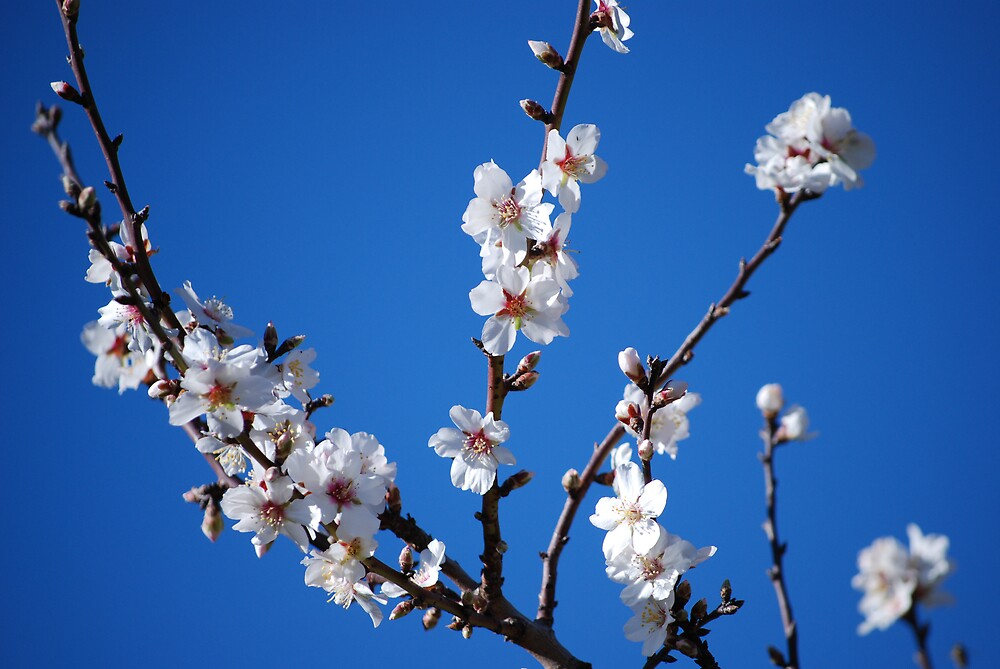 Almond Blossom by Gary Shepherd