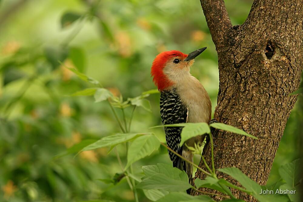 Red Bellied Woodpecker by John Absher