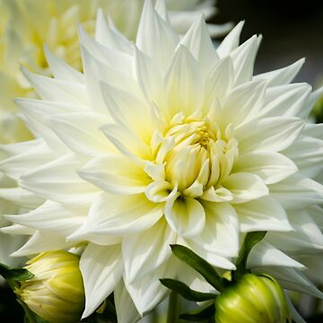 White Dahlia by CarolynEaton