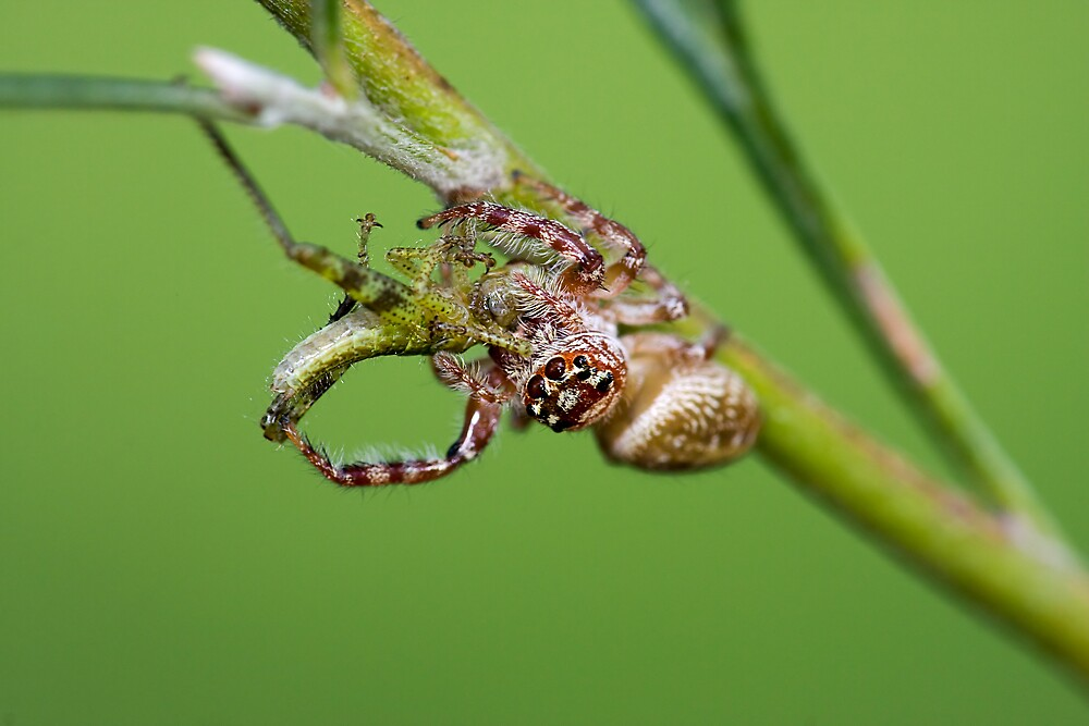 Jumping Spider with a Grasshopper Nymph by Greg Carlill