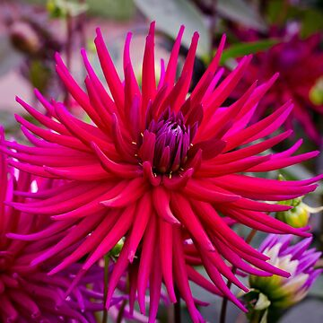 Spiky Pink Dahlia by CarolynEaton
