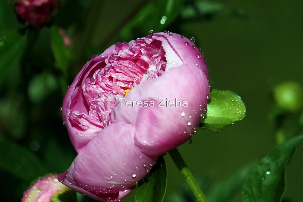 Peony In The Rain by Teresa Zieba